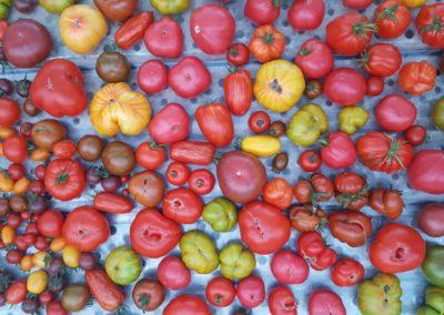Les Sourciers - tomate hydroponique 9