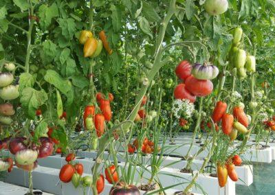 Les Sourciers - tomates hydroponique 7