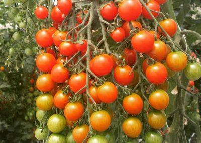 Les Sourciers - tomate hydroponique