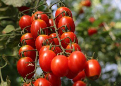 Les Sourciers - tomate hydroponique 5