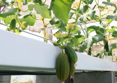 Les Sourciers - concombre hydroponie