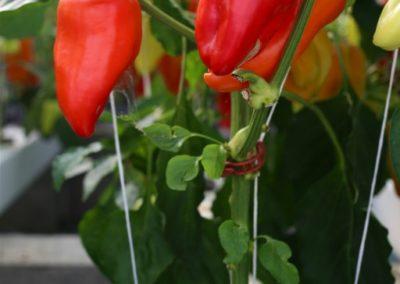 Poivron rouge - Les Sourciers