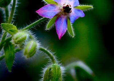 Fleurs comestibles - Les Sourciers