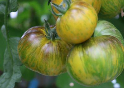 Les Sourciers - tomate hydroponique 3