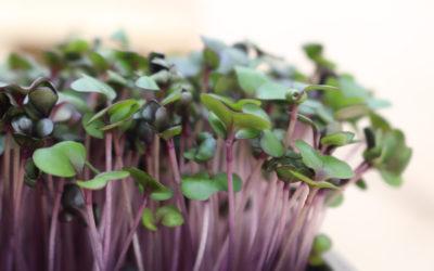 Apprendre à faire pousser des micropousses
